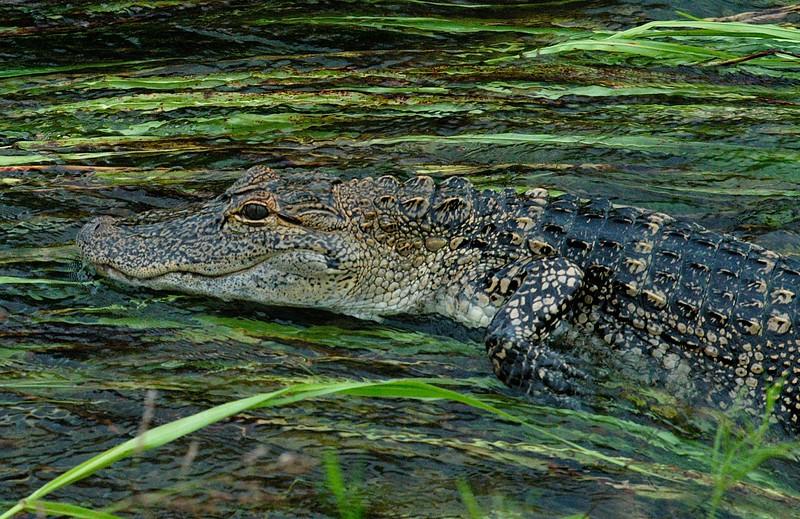Gator in the Flow.jpg