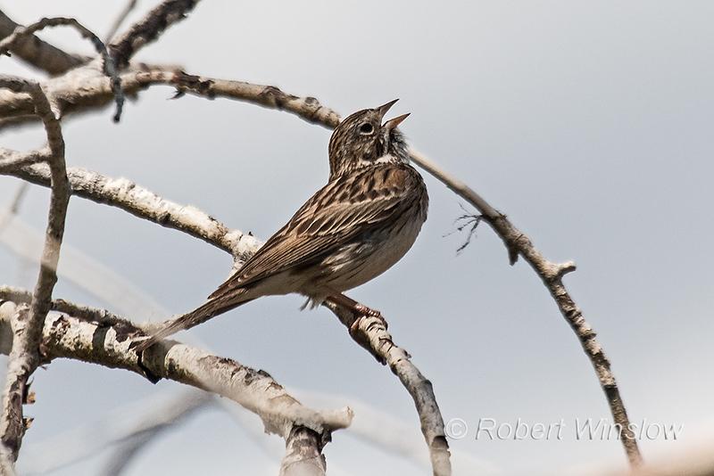 Vesper Sparrow, Pooecetes gramineus, La Plata County, Colorado