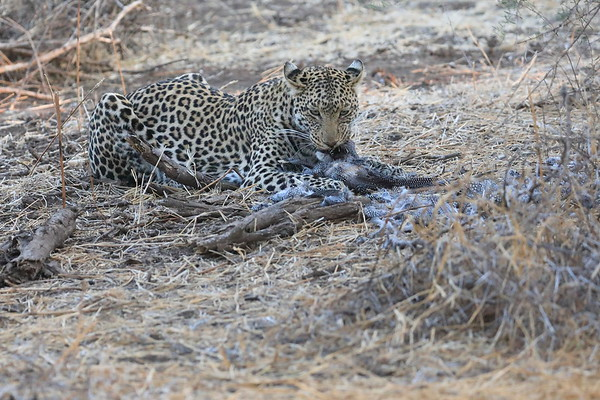 Leopard Eating at Mashatu Botswana 2017