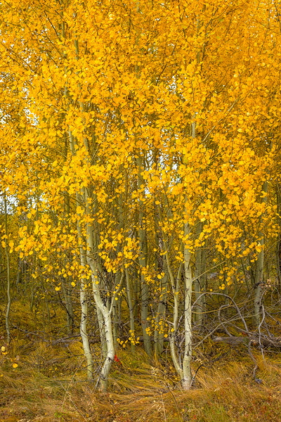 Aspens along Shadow Mountain Road, Grand Teton NP, Wyoming.