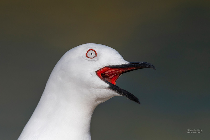 Black-billed Gull, Queenstown, SI, NZ, Aug 2018-6.jpg