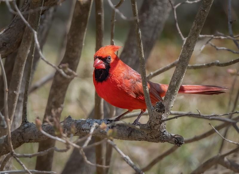 _6000777-Edit Northern Cardinal male my yard.jpg