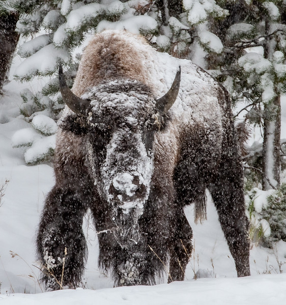Bison in heavy snow Madison River Yellowstone National Park WY  IMG_1620.jpg