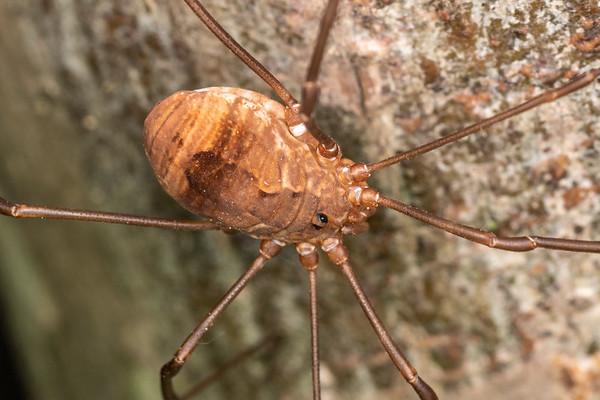 Unidentified Sclerosomatidae
