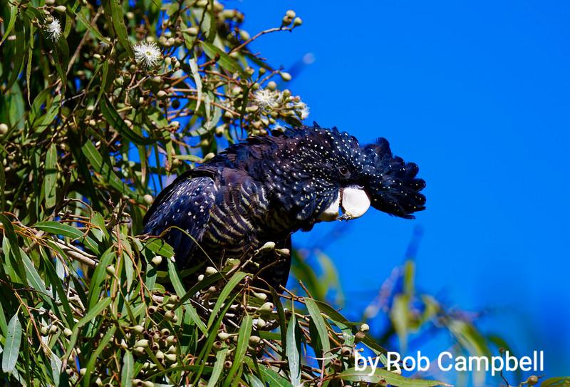 Adult female Red-tailed Black Cockatoo. Shenton Park, Perth, Western Australia.