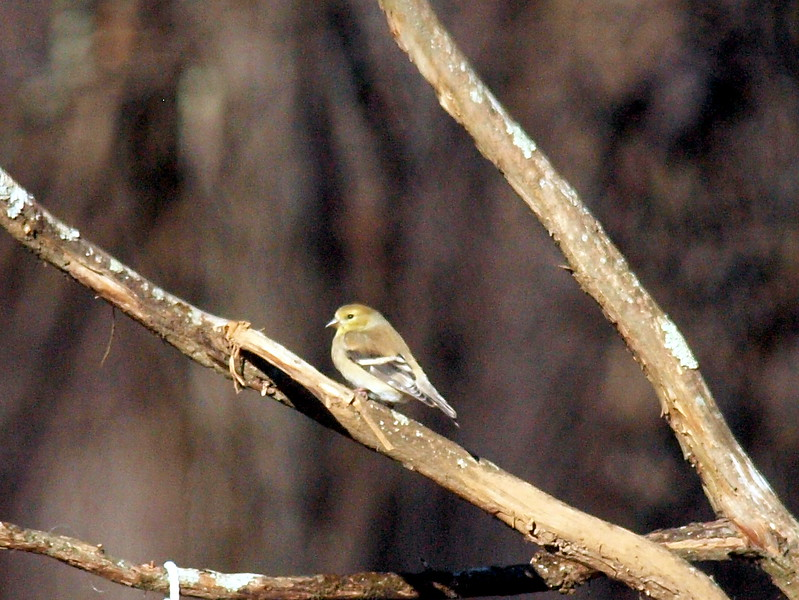 Goldfinch-002.JPG