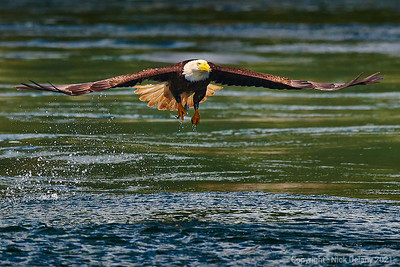 Bald Eagle Capture # 7