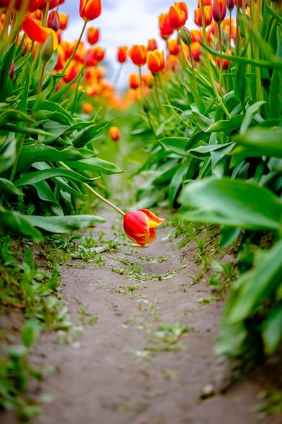 2016-04-07 Tulip Festival-6.jpg