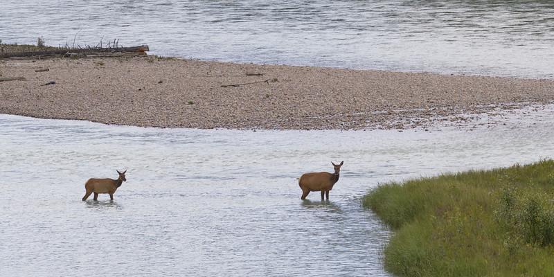Elks in Athabasca River, Yellowhead Highway, Jasper National Park, Jasper, Alberta, Canada