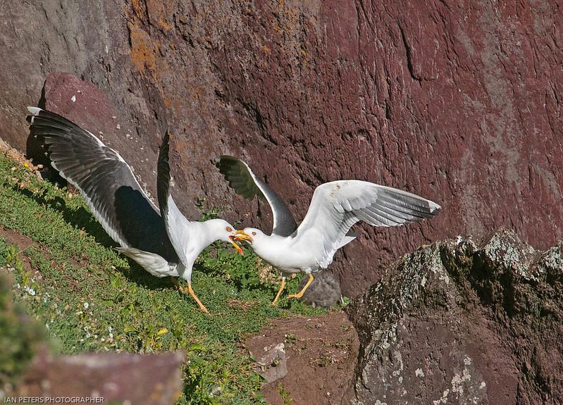 Gull fight for print.jpg