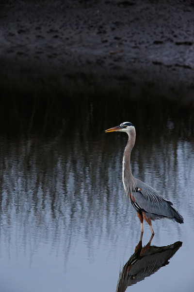 Great Blue Heron - Wades in the freshwater pool