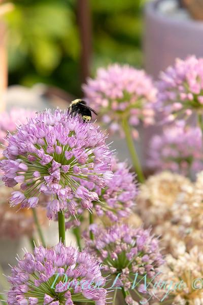 Allium 'ALLMIG1' Millenium with bees_0392.jpg
