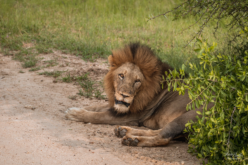 Lion_0680.jpg