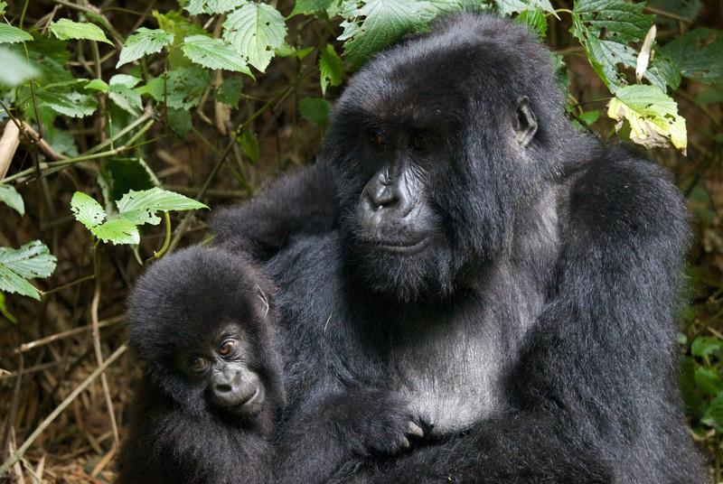 Gorillas  8399 (1).jpg