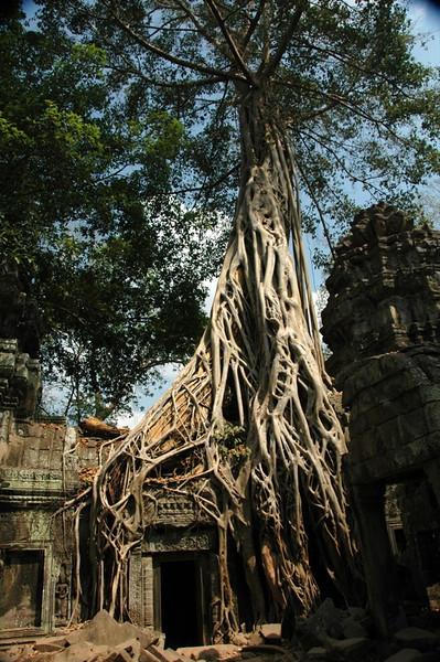Banyan Tree Roots - Ta Prohm, Cambodia