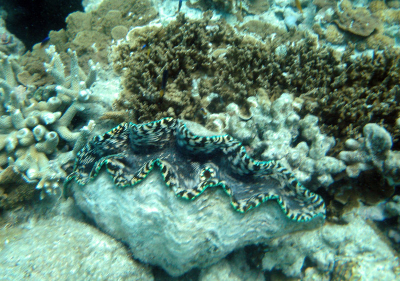 He introduces snorkelers to the amazing, wonderful creatures that inhabit the reef, such as giant clams.