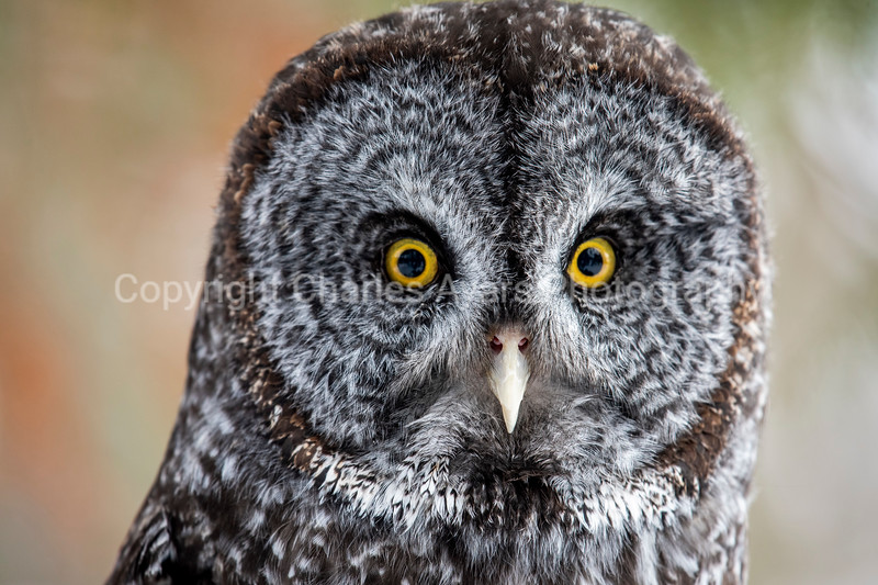 Young Great Grey Owl