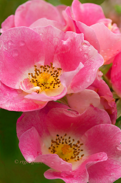 August 12_Pink Roses_7013.jpg