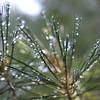 Dew on pine