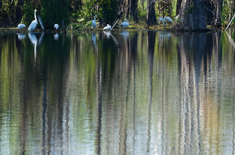 Egrets with Color