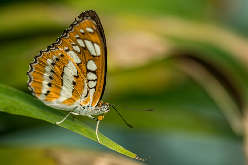 Red Lacewing (Cethosia biblis)