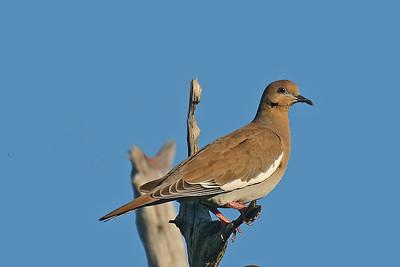 Doves, Cuckoos, & Parrots