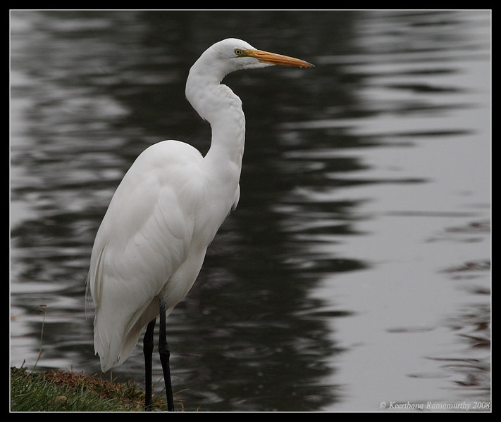 Great Egret, Santee Lakes, San Diego County, California, November 2008