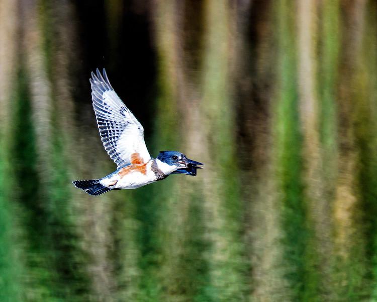 Kingfisher_DSC_3932.jpg