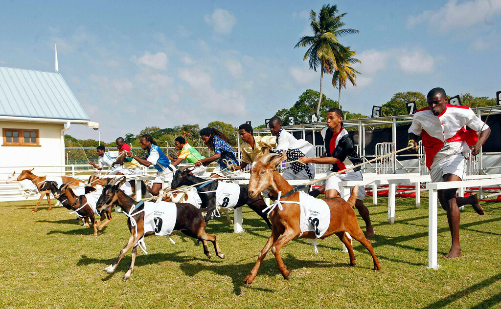 . Goat handlers, known as jockeys, race to the finish line with their animals in one of several events held during the annual Buccoo Goat and Crab Race Festival at Buccoo Integrated Facility on Tobago Island, April  2, 2013. The event is part of the island\'s annual Easter celebration. Picture taken April 2, 2013. REUTERS/Andrea De Silva
