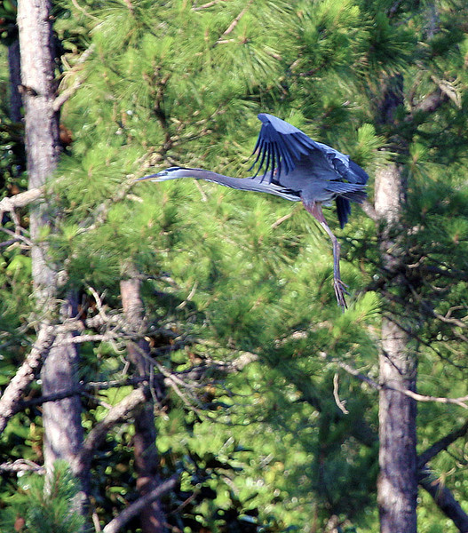 Another Great Blue Heron flies into the trees ...