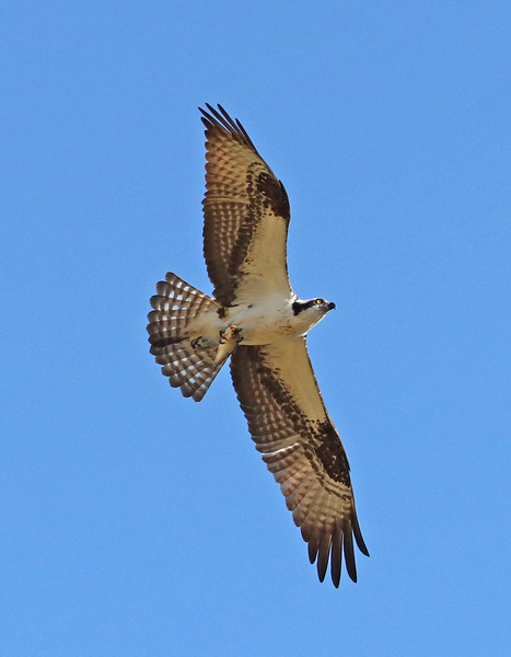 osprey 487.jpg