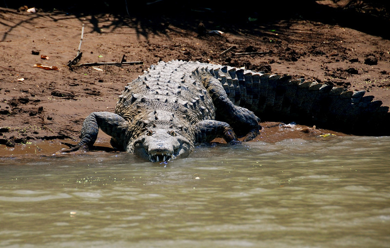 Crocodile - Costa Rica