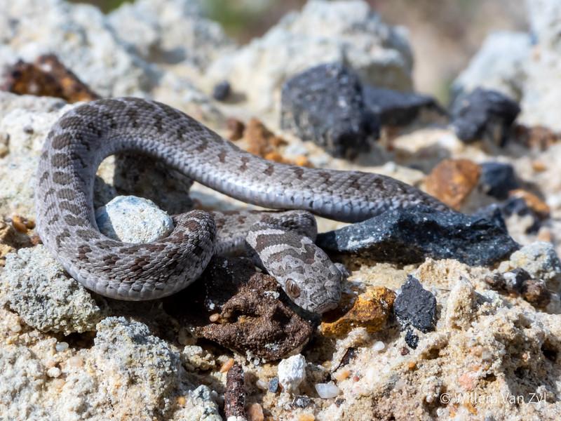 20190825 Rhombic Egg-Eater (Dasypeltis scabra) from Melkbosstrand, Western Cape