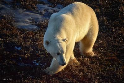 Churchill Polar Bears, Aurora, etc