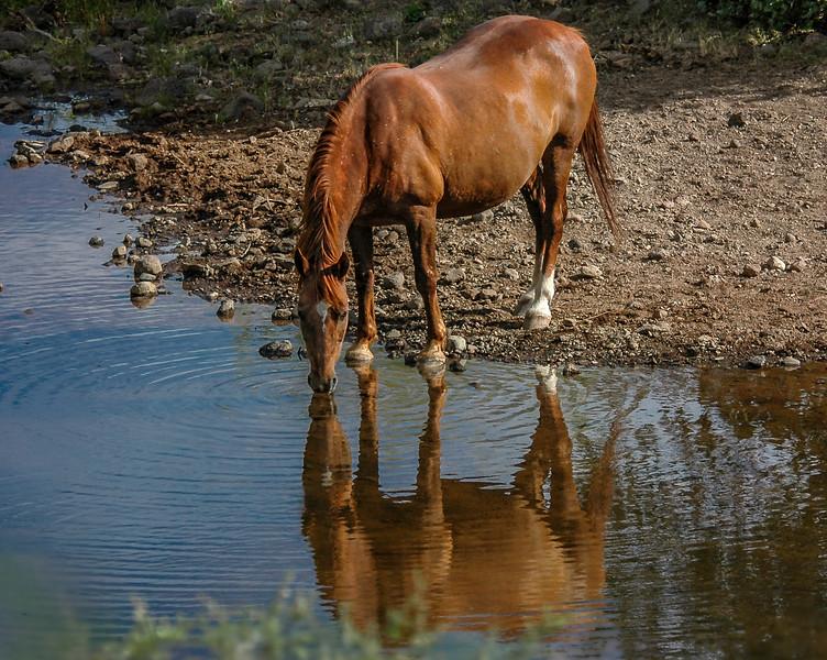 Wild Horse Drinking