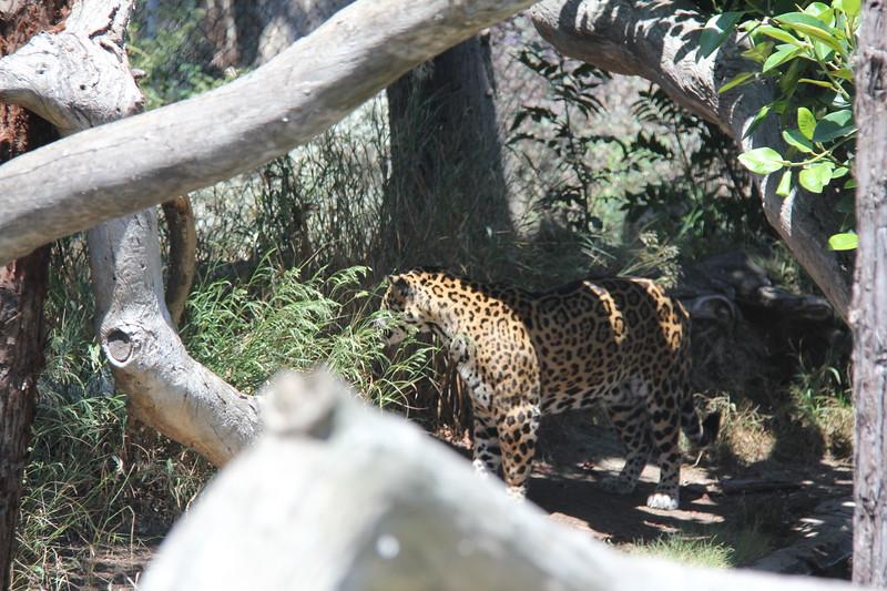 20170807-101 - San Diego Zoo - Leopard.JPG