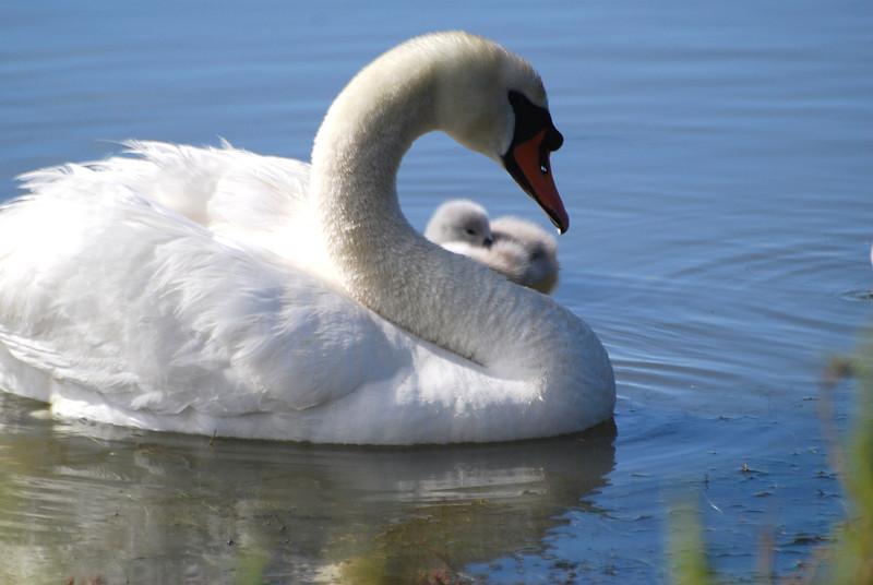 Swan & Hidden Chick.JPG