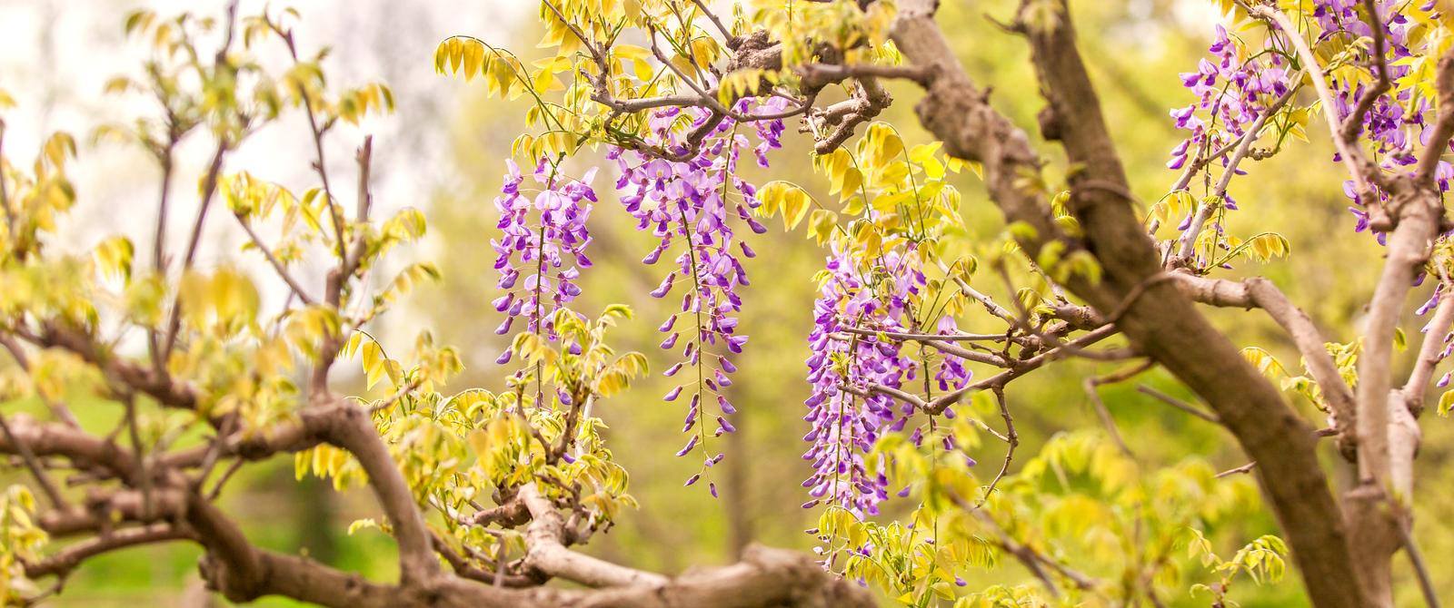 紫藤花,每年等着你