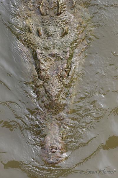 Tarcoles Crocodile.jpg