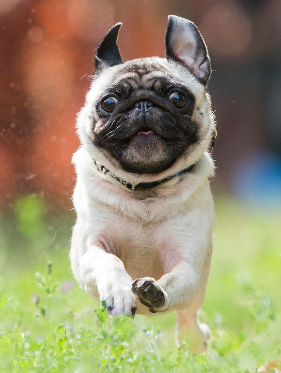 """. Pug dog Emil races during a pup dog meeting in Berlin, Germany, Saturday, Aug. 3, 2013. Some 40 pup dogs and their owners met in Berlin for the \""""4th International Pup Dog Meeting\"""" including a dog race. (AP Photo/Gero Breloer)"""