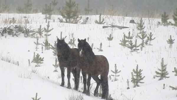 3-28-18 **Video - Alberta Wild Horses - Long Distance