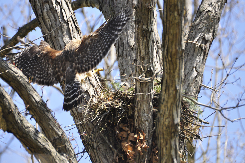 2009 Red Shouldered Hawk Nest 8641