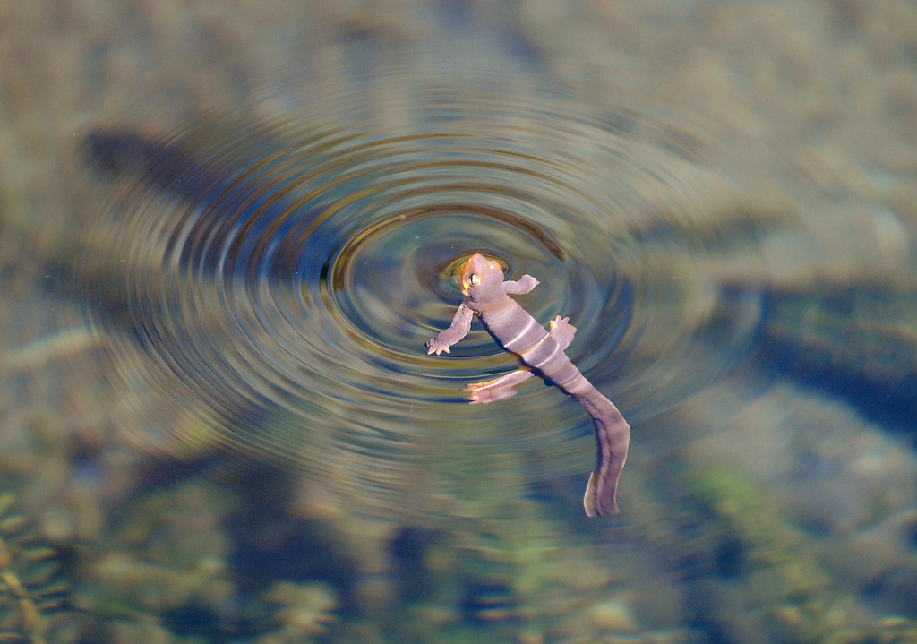 . A newt surfaces while swimming in the waters of a pond at the University of California Botanical Garden in Berkeley, Calif. on Monday, Feb. 11, 2013. (Kristopher Skinner/Staff)