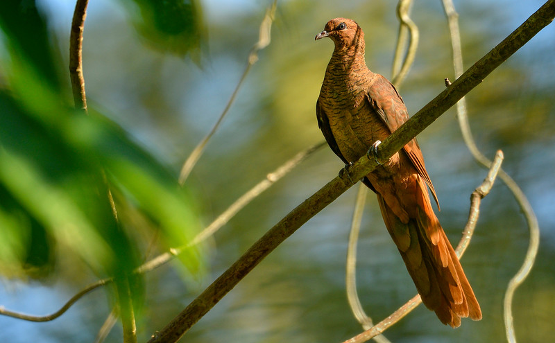 Andaman-Cuckoo-dove-Little-Andaman.jpg