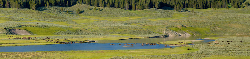 Bison herd crossing Yellowstone River, Yellowstone National Park