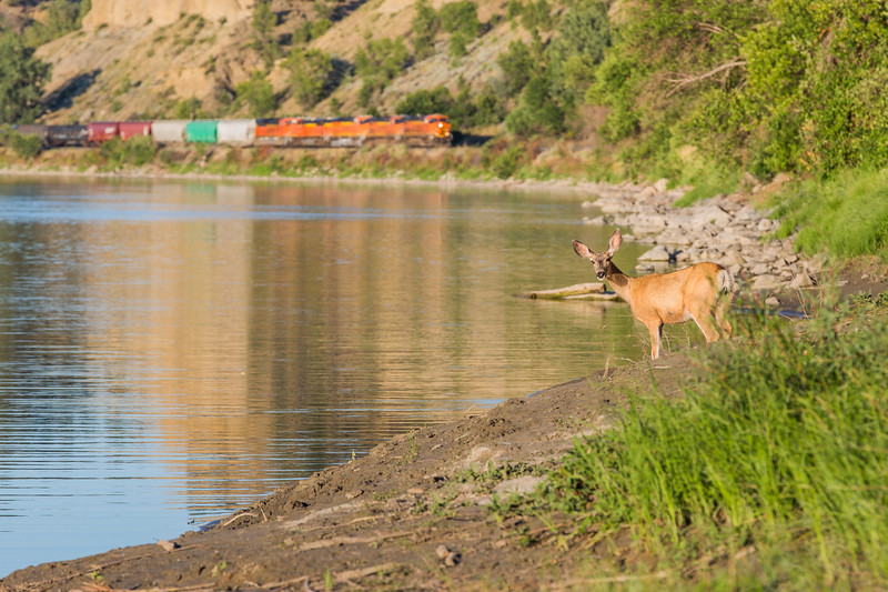 Mule Deer on the Yellowstone River with a Train in the background