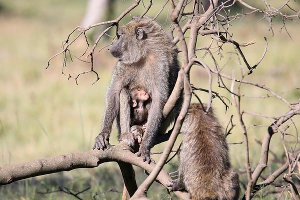 Baboon Mara Kenya 2018