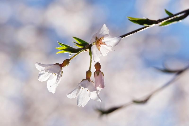 20160318 026 flowers near Forest Edge.JPG