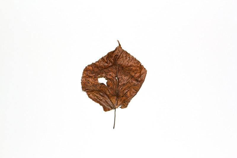 2010-09-30 Leaf Study 20395.jpg
