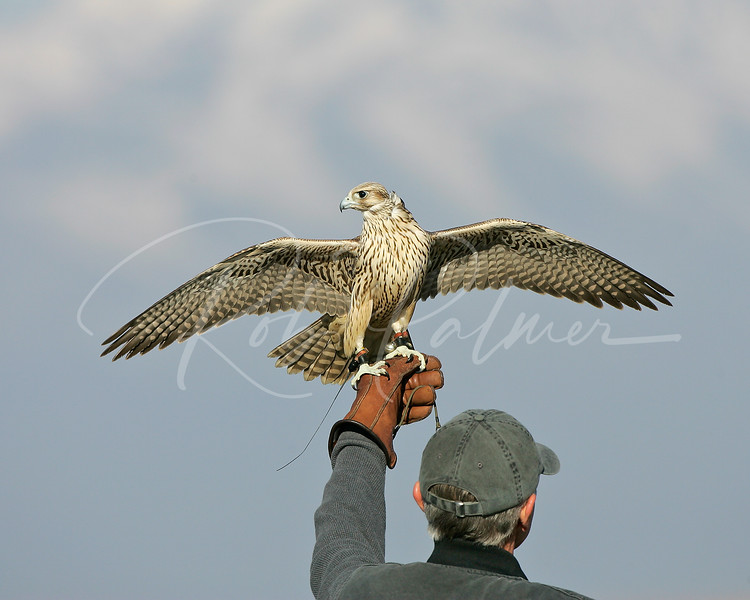 Hybrid Falcon and Falconer